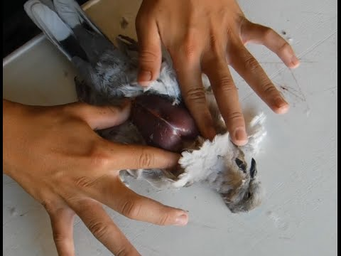 How To: Clean and Prepare a Dove the Easy Way Without Making a Huge Mess