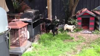 Rottweiler, Greyhound And Pug