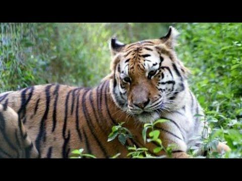 A tiger in Raiganj collegepara