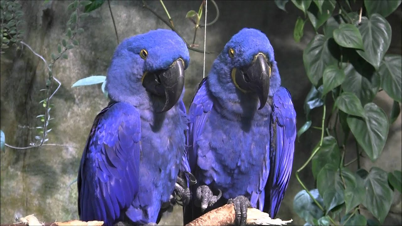 hyacinth macaws at vancouver aquarium youtube