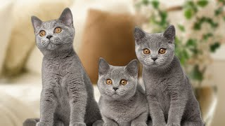 Should I Own Multiple British Shorthair Cats?
