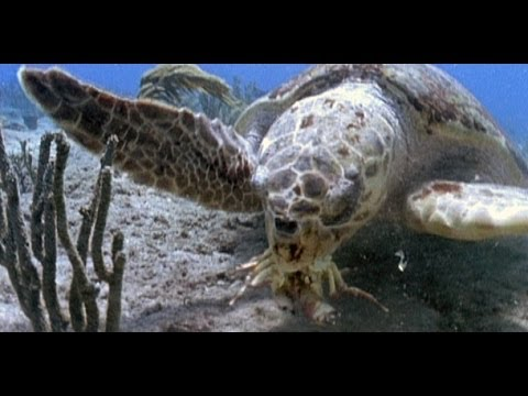 Turtles and Tortoises - Nature Documentary (HD)