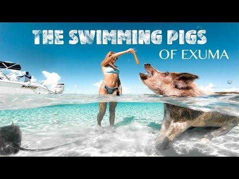 Swimming Pigs Of Exuma Bahamas (Pig Island 2019)