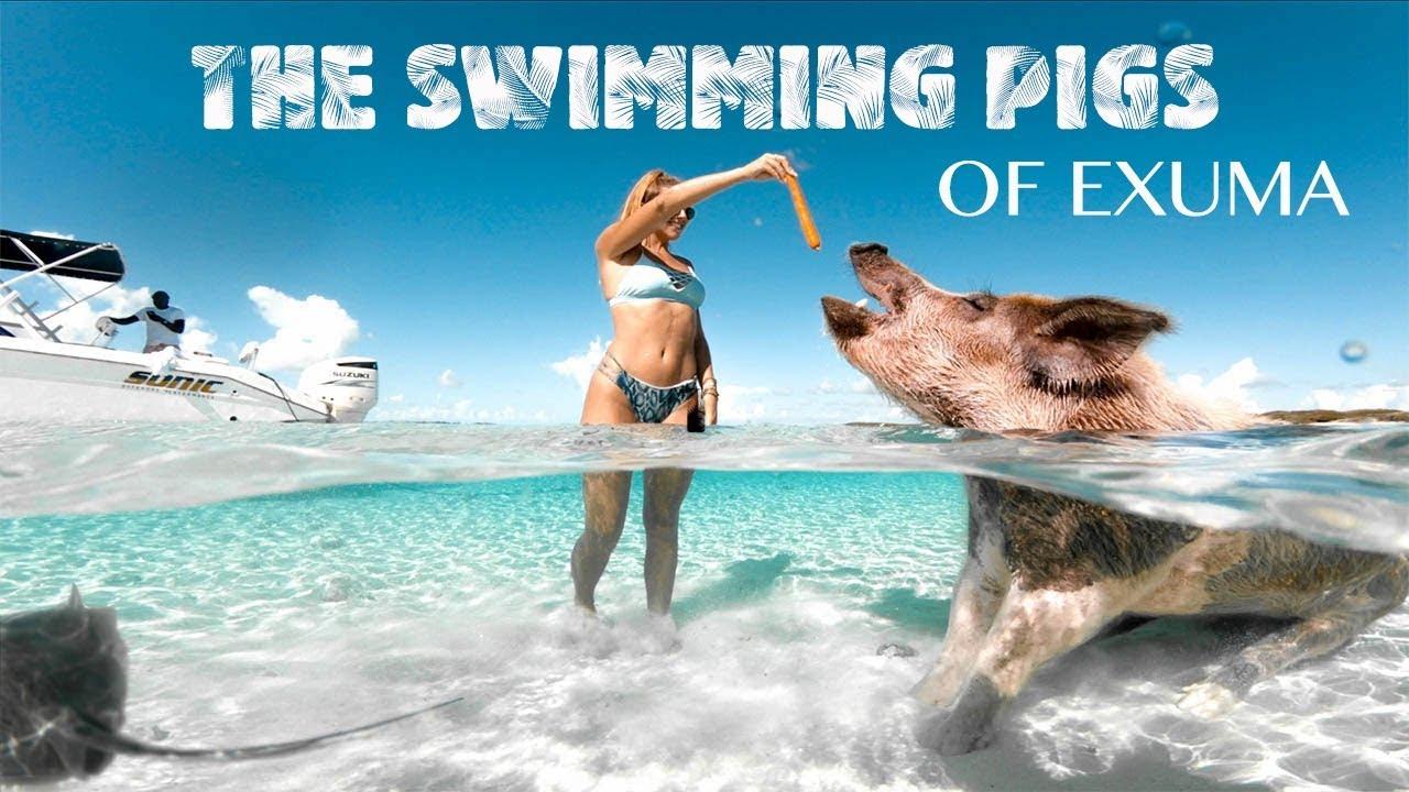 Swimming Pigs Of Exuma Bahamas Pig