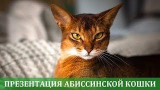 Абиссинская кошка презентация породы