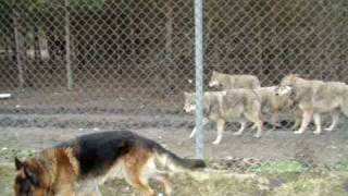 Wolves and dog