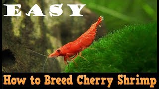 Baixar How to Breed Red Cherry Shrimp Easily