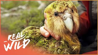 Kakapo: The Bird That Doesn't Know How To Fly (Wildlife Documentary) | Real Wild