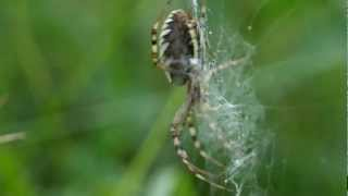 artistic wasp spider making herself a grashopper wrap - shot with the 60mm samsung macro lense