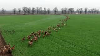 いったいどこまで走り続けるのか?ハンガリーの大平原を走り抜けるシカの大群