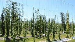 It's the craft beer crop. Here's what a Florida hop yard looks like