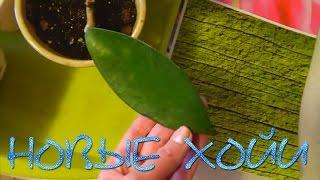 видео Фиалки листьев воск