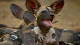 Wild Dogs  Hot Springs Pack | National Geographic Wild Documentary [Full HD 1080p]