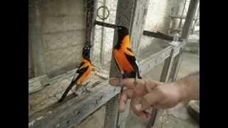 sofreu, ave cantadeira