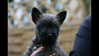 #62 CAIRN TERRIER 1/3  | Which Dog Should I Get? Dog Breed Selector
