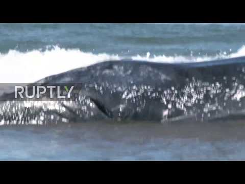 Argentina: Major rescue operation to return beached whale to the sea