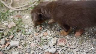 犬生後一か月のMダックスフンドがミミズを発見すぐに捕まえて得意そうに(^^