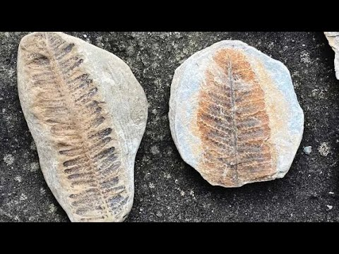 Fern Fossils - Mazon Creek Flora