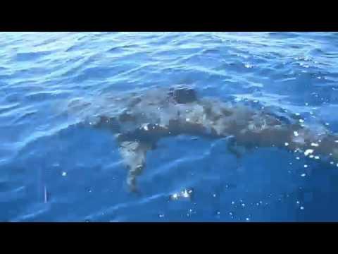 Des jeunes cal doniens et le requin blanc youtube - Dessiner un requin blanc ...