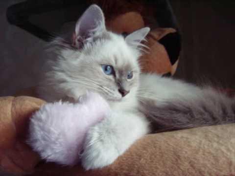 Gatto Sacro Di Birmania Oneida Cucciola Blu Tabby Point