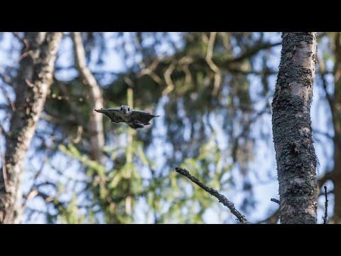 Kohtalona liito-orava LIVE