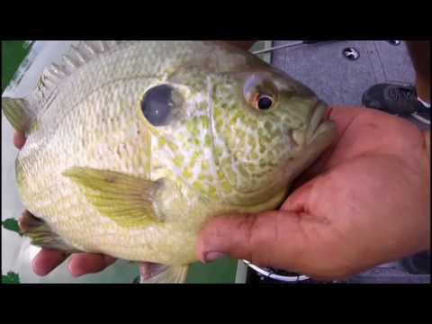 Searching For World Record Sunfish - The ToadGill.