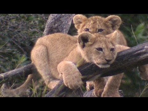 Baby king of the jungle - Amazing Animal Babies: Lion (Ep 4) - Earth Unplugged
