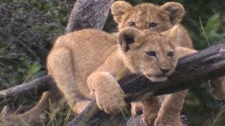 Baby king of the jungle | Amazing Animal Babies: Lion (Ep 4) | Earth Unplugged