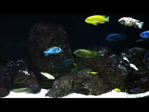 How I Got Started in the Fish Keeping Hobby - 100th Video Special - African Cichlid Hub