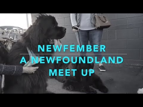Newfoundland Dog Meet up Your Videos on VIRAL CHOP VIDEOS