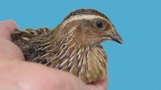 2012年11月1日からウズラの卵6個を温め、17日目(11月18日)に2羽が孵化...