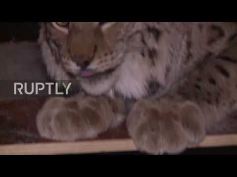 Russia: Imagine the size of the litter box! Moscow man keeps LYNX in his FLAT