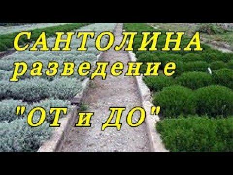 """Разведение САНТОЛИНЫ  - весь процесс """"ОТ и ДО""""."""