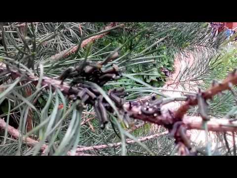 Обыкновенный сосновый пилильщик . Часть 1
