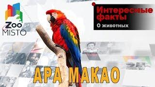 Ара макао - Интересные факты о виде    Вид попугая ара макао