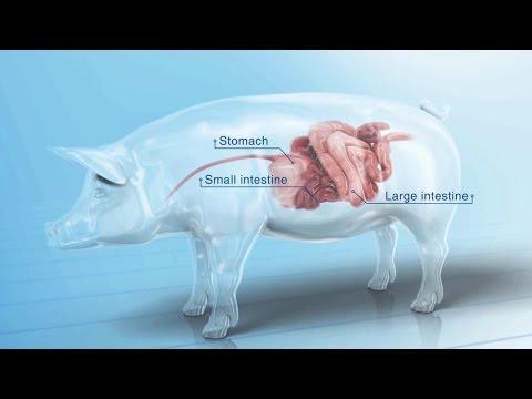 Ileitis in Swine Herds