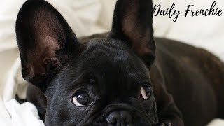 Funniest & Cutest French Bulldog Puppy's #4- Compilation 2018