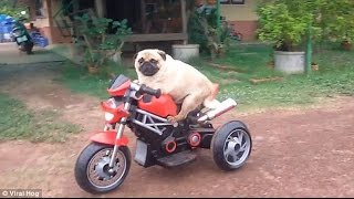 Best Pugs Funny Moments