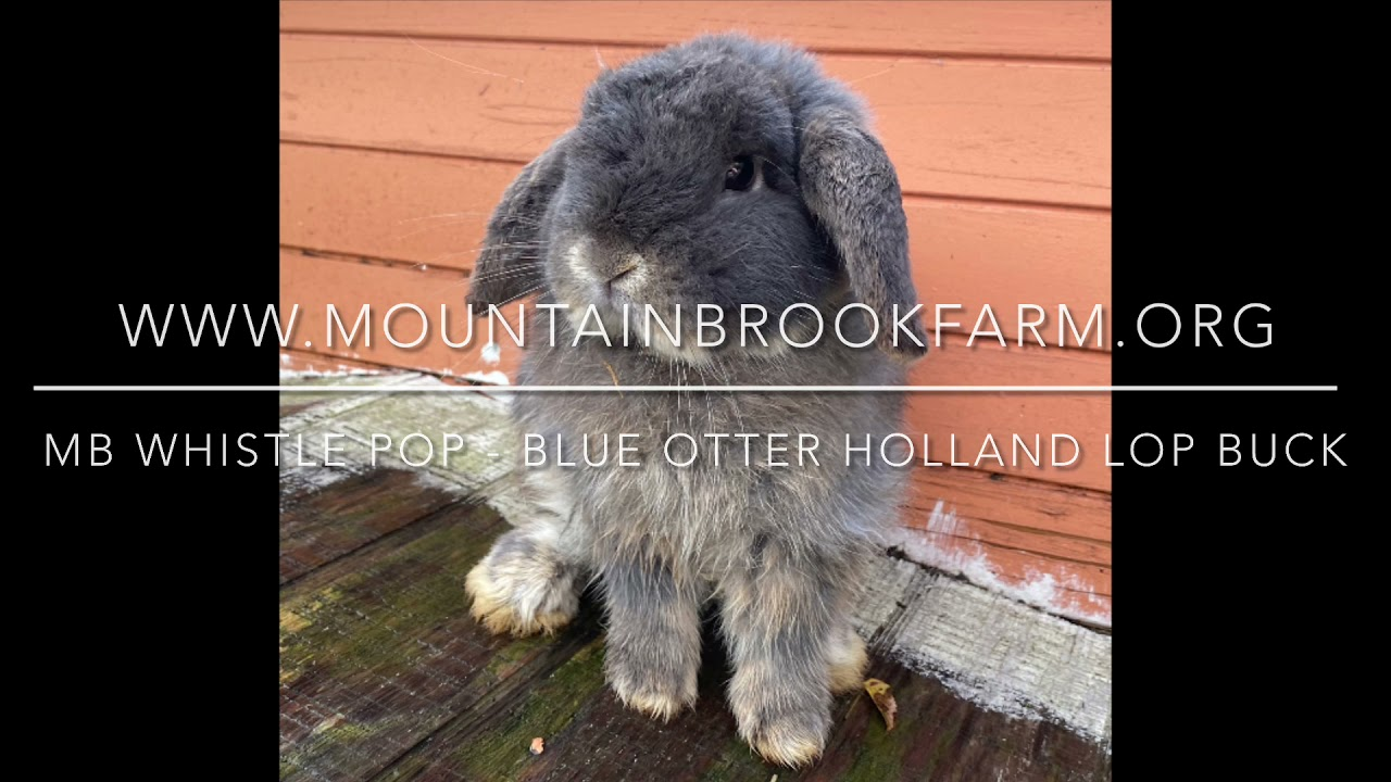 MB Whistle Pop - blue otter Holland Lop buck