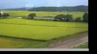 rice grow in Tanbo Japan, August (something acccident?)
