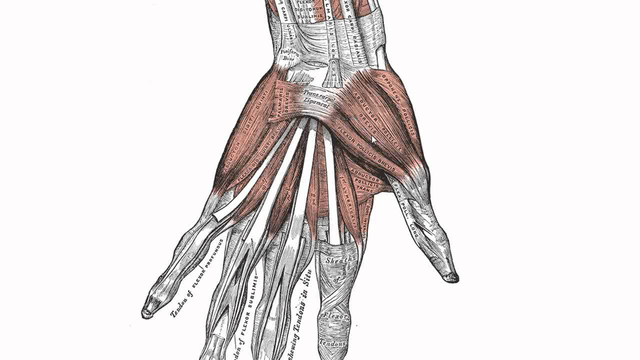 Muscle Diagram Dorsal Wiring 2004 Dodge Ram 2500 Muscles Of The Hand Anatomy Tutorial Youtube