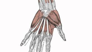 Muscles of the Hand - Anatomy Tutorial
