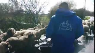 Déplacements des moutons du site de Montpon 1 à Montpon 2