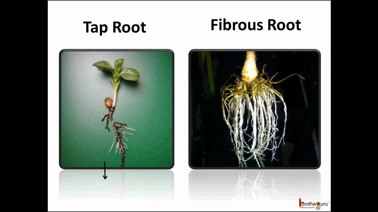 Roots 2 Types Of Root Systems Taproot Fibrous System Image Found At