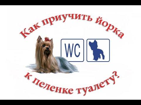 Как приучить щенка йорка к туалету на пеленку или лоток