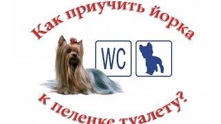 Как приучить щенка йорка к туалету на пеленку или лоток(Поскольку маленькие декоративные собачки вроде йоркширских терьеров или чихуахуа чаще всего гуляют на..., 2014-12-18T09:33:26.000Z)