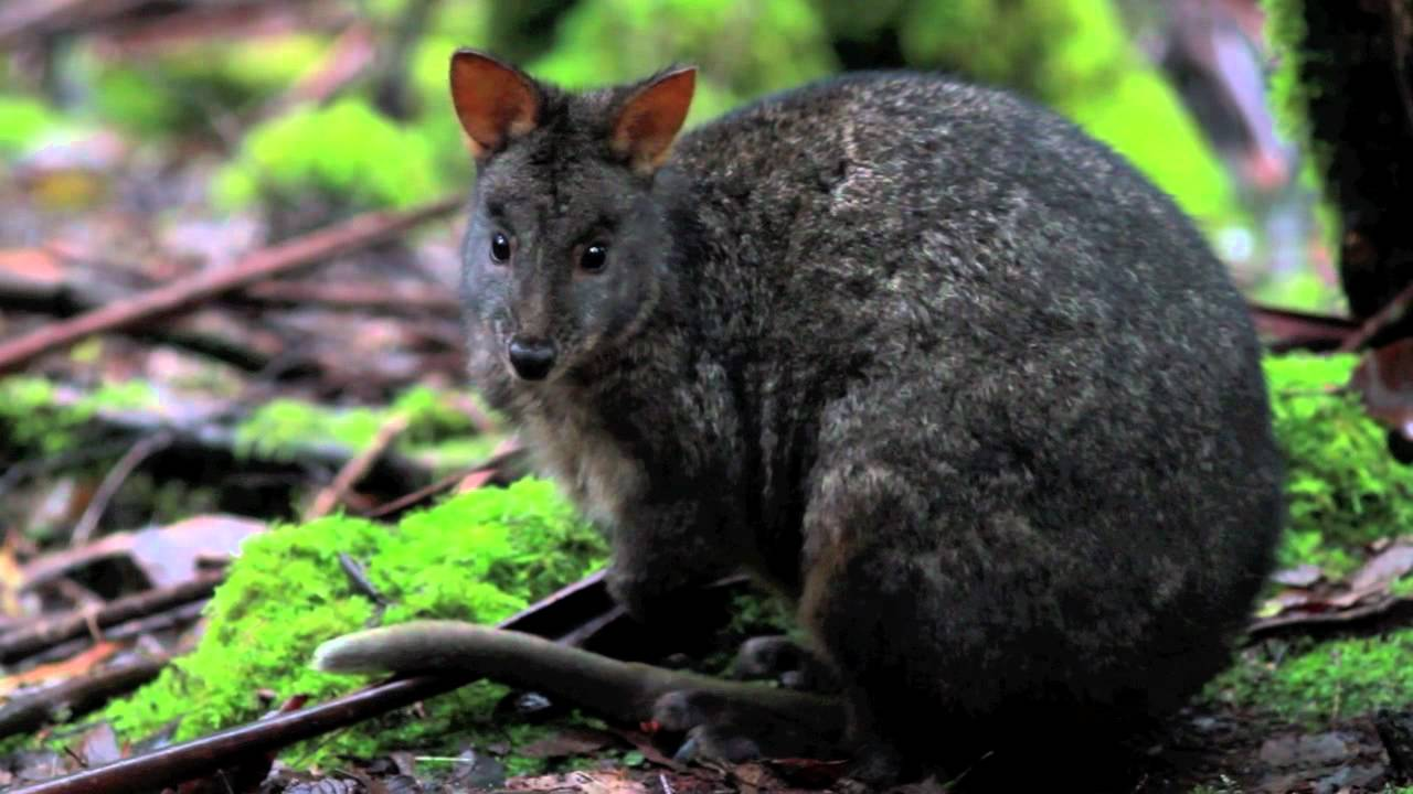 Tasmanian Pademelon Small Kangaroo Mount Field Tasmania Youtube