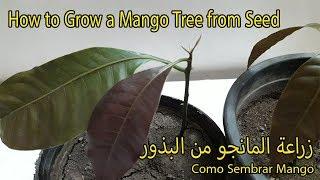 طريقة زراعة المانجو من البذور    How to Grow a Mango Tree from Seed