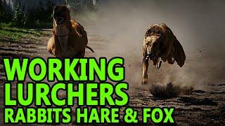 Working Lurchers ( Rabbit Fox Hare )