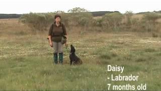 Young Labrador Gundog Training Craigelachie Gundogs